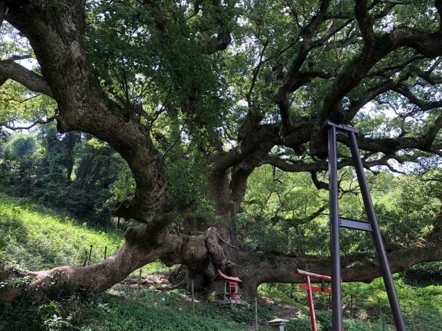 1志々島の大楠の木.jpg