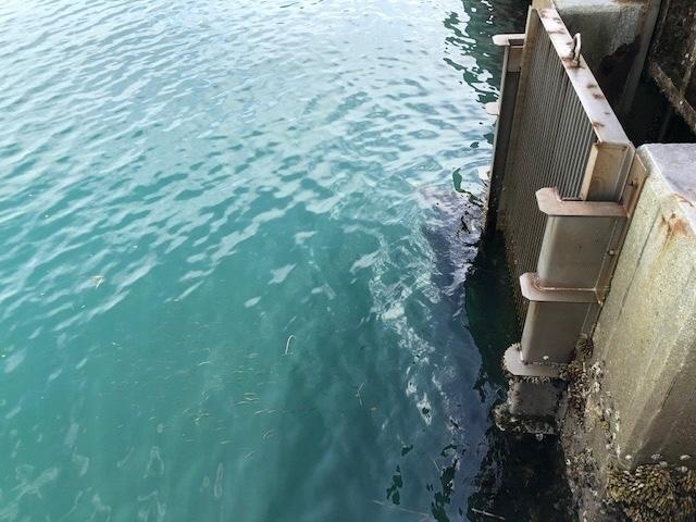 5水門から出るサワラ稚魚.jpg