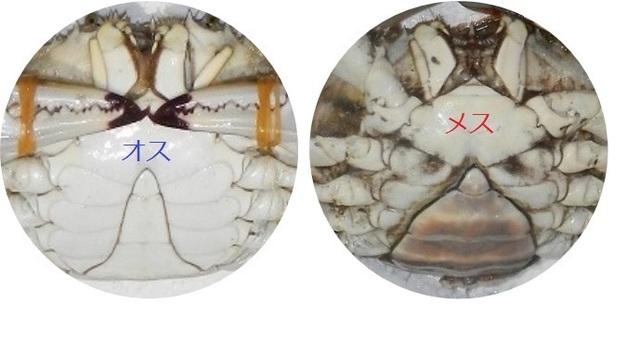 ガザミ腹部雌雄表記.jpg